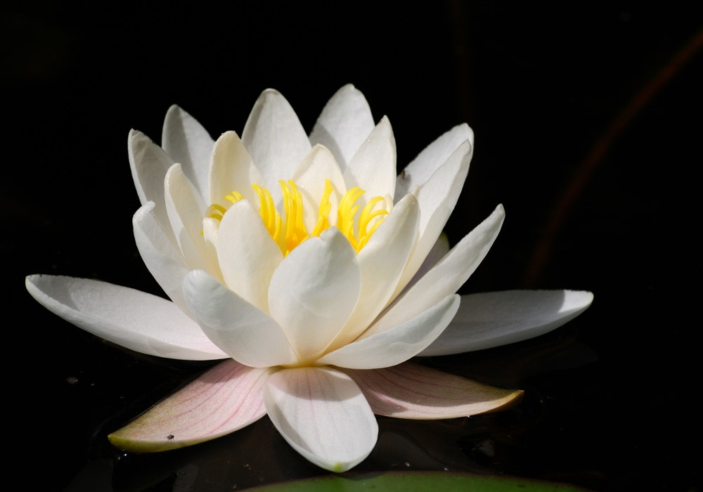 Fotomural white water lily