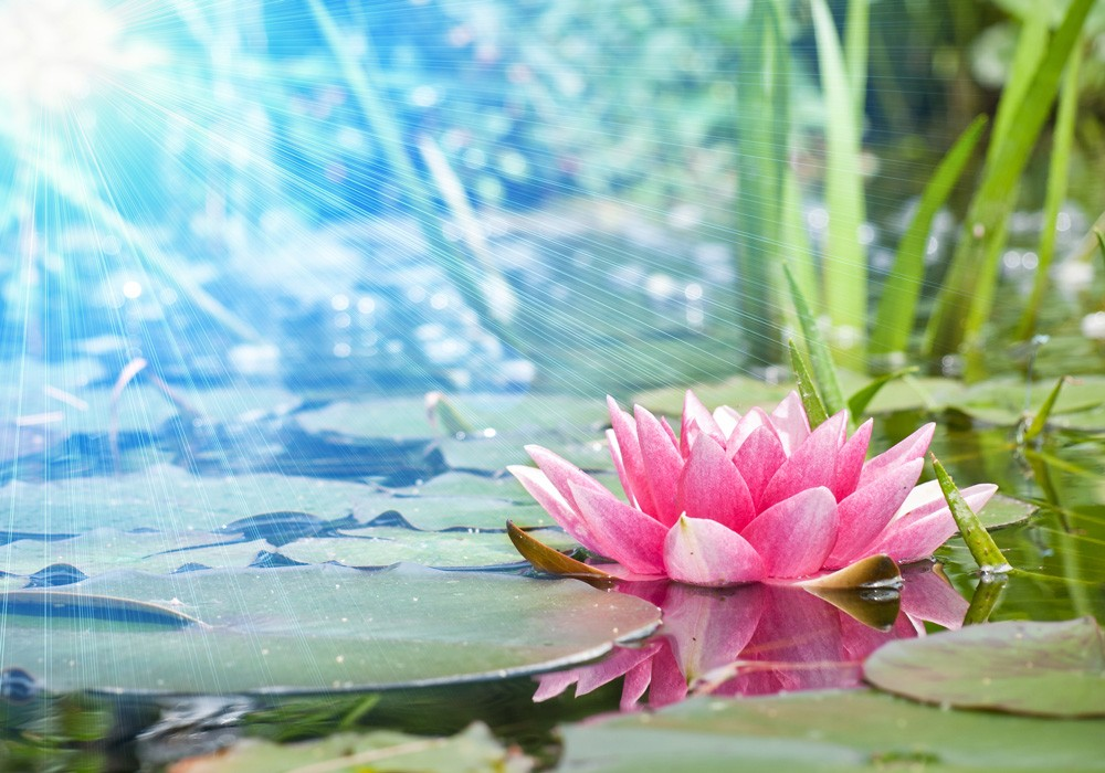 Fotomural pink water lily